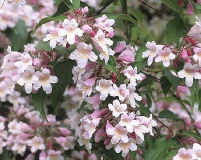 10 BEAUTY BUSH SHRUB Beautybush Kolkwitzia Amabilis Pink & White Flower Red Berry Seeds *Combined S/H