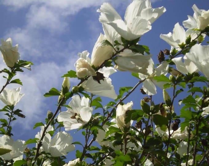 50 White ROSE Of SHARON HIBISCUS Syriacus Flower Tree Bush Seeds *Flat Shipping
