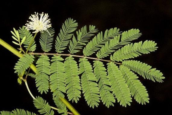 Desmanthus illinoensis 100 graines-Prairie Mimosa