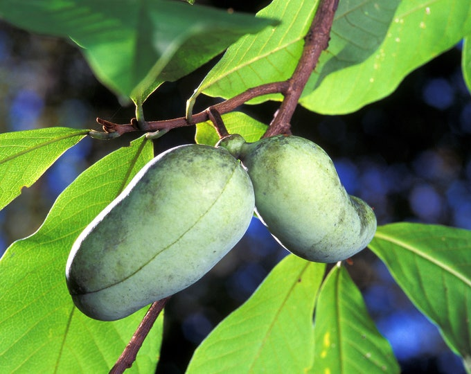 5 PAW PAW Fruit TREE Indian Banana Asminia Triloba Flower Seeds *Comb S/H