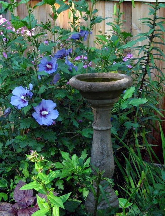 50 Blue Bird Rose Of Sharon Hibiscus Syriacus Flower Tree Bush Etsy