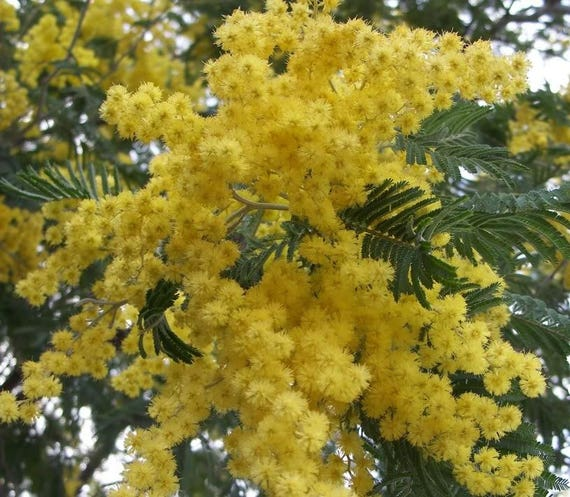 10 Golden Mimosa Acacia Baileyana Yellow Wattle Tree Flower Etsy