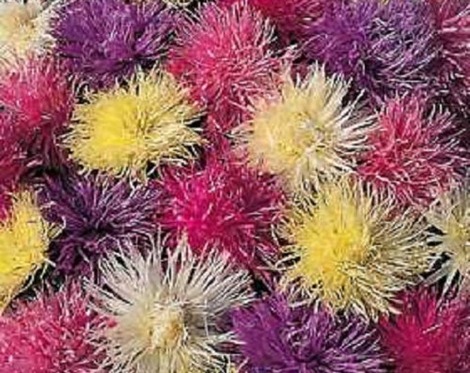 50 Mixed OSTRICH PLUME ASTER Feather Spider Callistephus Chinensis Flower Seeds *Flat Shipping