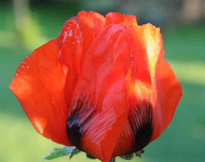 100 RED TULIP POPPY Papaver Glaucum Flower Seeds