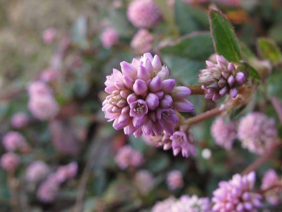 Punching Balls 50 Seeds #3129 Pinkhead Smartweed Polygonum Capitatum