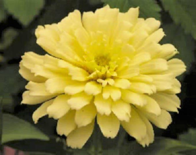 250 ISABELLINA ZINNIA Elegans Pastel Light Yellow Double Heirloom Flower Seeds