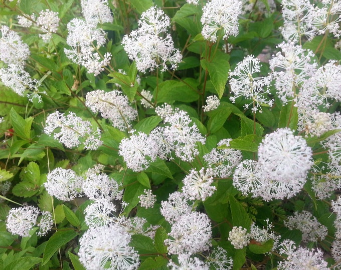 20 White NEW JERSEY TEA Hummingbird Flower Ceanothus Americanus Shrub Seeds