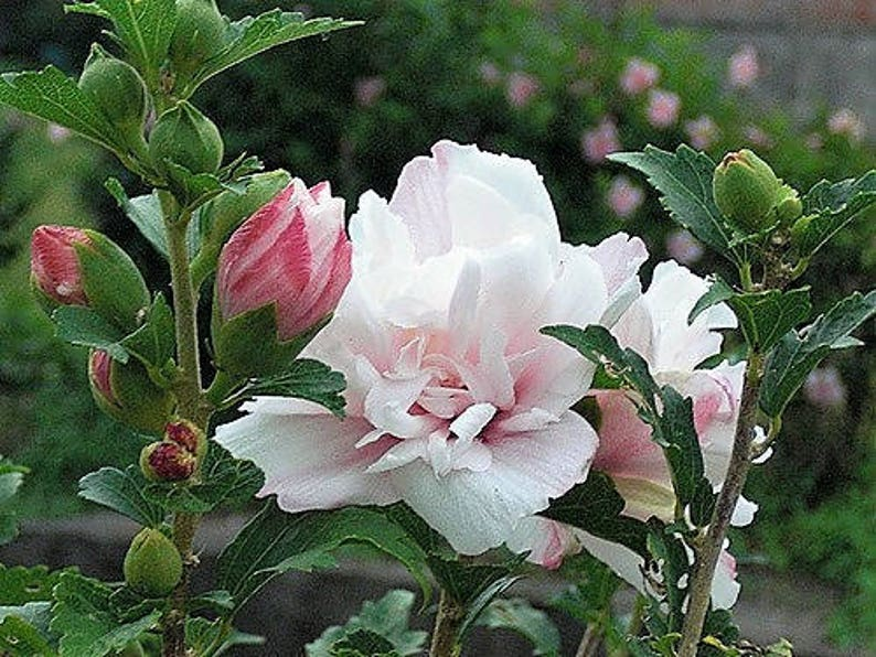 50 Light Pink Double Rose Of Sharon Hibiscus Syriacus Flower Etsy