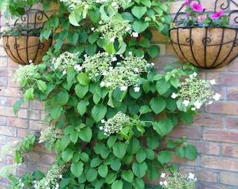 50 CLIMBING HYDRANGEA Anomala Petiolaris Vine Flower Seeds