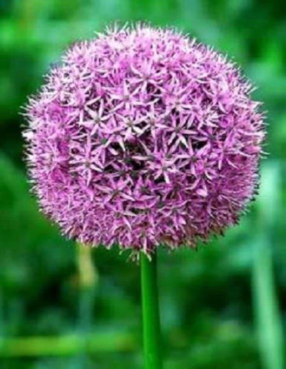 """Allium /""""globemaster/"""" 50 graines"""