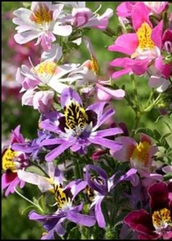 Butterfly Flower Orchid-Angels Wing 100 Seeds