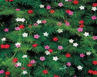 50 CYPRESS VINE MIX Ipomoea Quamoclit Convolvulus Hummingbird Star Morning Glory Cardinal Creeper Flower Seeds - Mixed Colors Red Pink White