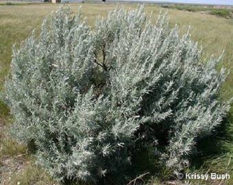 100 SILVER SAGEBRUSH Artemisia Ludoviciana Herb Flower Seeds *Flat Shipping