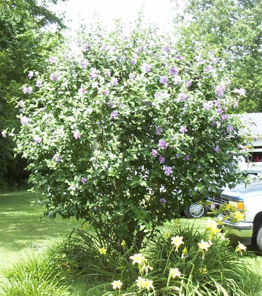 50 White Rose Of Sharon Hibiscus Syriacus Flower Tree Bush Seeds