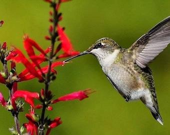 10 PINEAPPLE SAGE Red Salvia Elegans Herb / Flower Seeds *Comb S/H