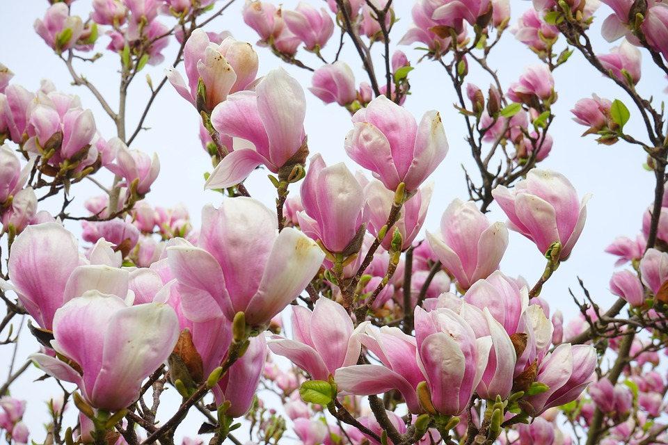 5 Lily Magnolia Flower Tree Pink Purple Fragrant Tulip Magnol