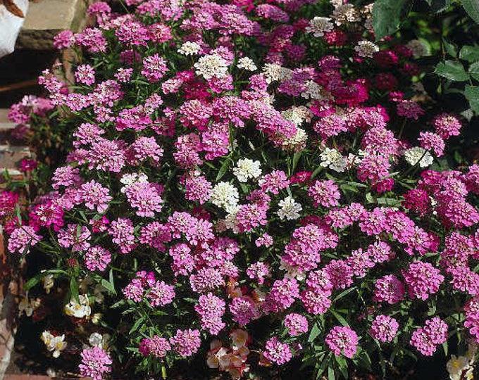 2000 Fairy DWARF MIX CANDYTUFT Iberis Umbellata Flower Seeds