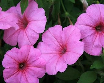 100 PINK PETUNIA Flower Seeds
