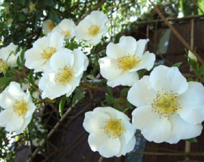 10 WHITE JAPANESE ROSE Rosa Rugosa Alba Bush Rugosa Rose Flower Seeds *Flat Shipping