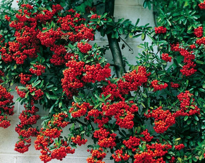 25 SCARLET FIRETHORN Pyracantha Coccinea Bush Shrub Flower Seeds *Flat Ship Rate