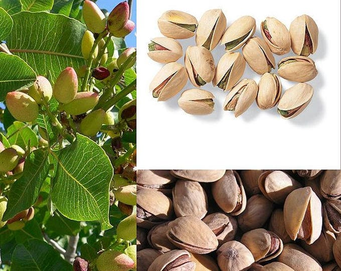 5 PISTACHIO NUT TREE Pistacia Vera Fruit Red Flowers Seeds *Combined Shipping