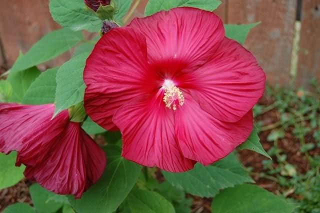 10 Luna Red Hardy Hibiscus Hibiscus Moscheutos Balhibred Flower Seeds