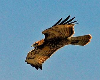 Hawk   Not Happy   Screaming Hawk