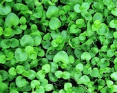 20 CORSICAN MINT Mentha Requienii Herb Fragrant Ground Cover Flower Seeds *Combined Shipping photo