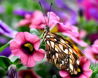 "Butterfly Photo, Macro Photography, Nature Print, ""Butterfly on Pink Flowers"", Fine Art Photography, Mackinaw Island Butterfly House"