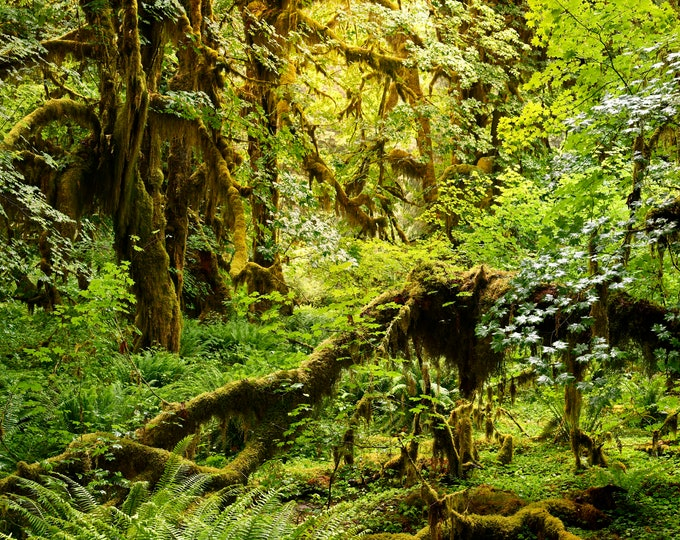 Featured listing image: Heart of the Forest, Forest Photo, Hoh Rain Forest, Hall of Mosses Trail, Olympic National Park, Landscape Photography, Fine Art Photography