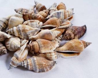 Bulk, small, conch sea shell, bag of 30, wedding, craft, home decor, naturals,