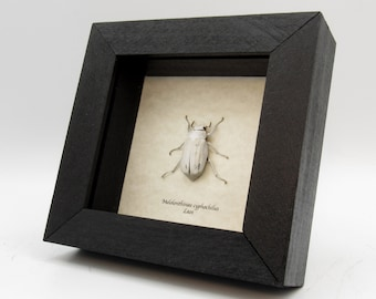 Real White Scarab beetle framed - Melolonthinae cyphochilus