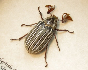 Real Ten-lined June Beetle framed - Polyphylla decemlineata