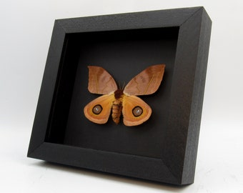 for all your taxidermy art projects FREE SHIPPING One pair of silk moths Automeris io  with wings closed male and female