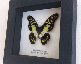 Real butterfly framed - Graphium tynderaeus