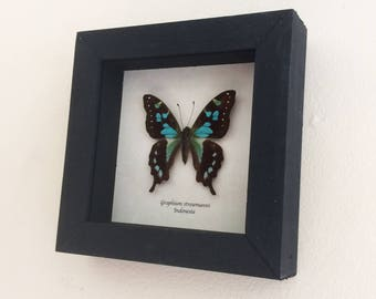 Real butterfly framed - Graphium stresemanni