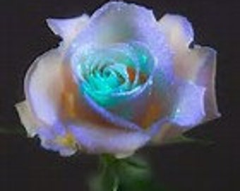 Grow Your Own Natural Light Crystal Roses 20 Organic Rose Seeds