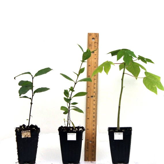 Leccino Olea europaea Olive Tree Live Plant food garden drought tolerant