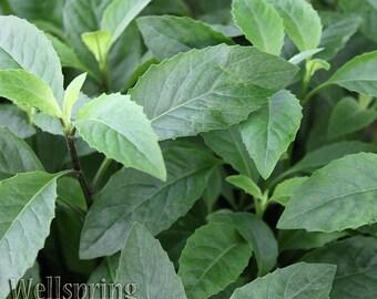Longevity Spinach Live Plant - Gynura procumbens