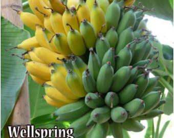 Ice Cream Banana Tree Live Plant (Blue Java) - Musa
