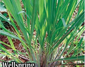 Lemon Grass Live Plant Lemongrass - Cymbopogon citratus