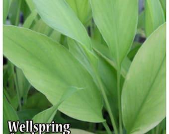 Yellow Turmeric Ginger Curcuma longa Live Plant - Culinary cooking