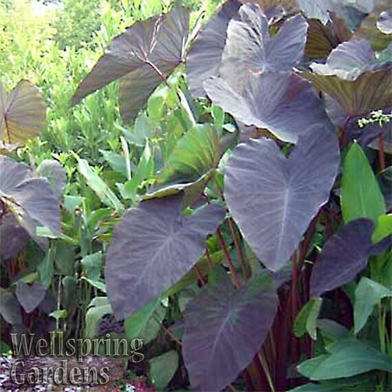 Elephant Ear Colocasia Esculenta Plant Black Magic Etsy