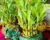 Assorted lucky bamboo planter
