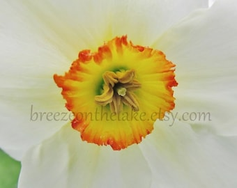 Flower photography download print, daffodil close-up, nature photography, home decor, wall art