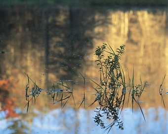 Reflections Of Carex And Myrica Gale At The First Light On Lac à René