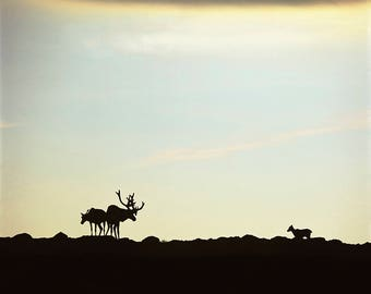 A family of Caribou at sunset at the top of Gros Morne mountain, Gros Morne National Park, Newfoudland