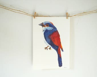 Poster A4 of a colorful bird red and blue (Silver Breasted Broadbill, animals, decorations)