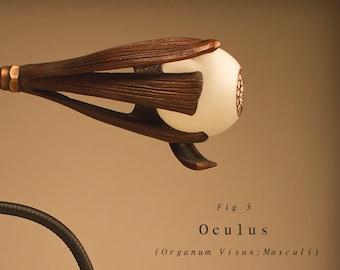 Oculus   ( Organum Visus; Musculi )