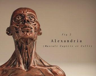 Alexandria (Musculi Capitis et Colli)